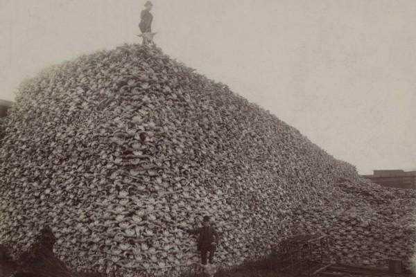 Fotografija iz 1870-ih koja prikazuje brdo bizonskih lubanja koje su kasnije samljevene za umjetno gnojivo (izvor).